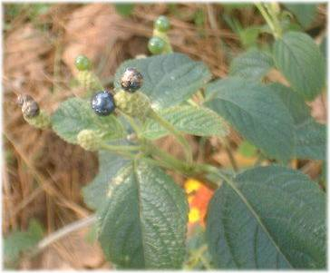 Lantana Seed Picture></p>